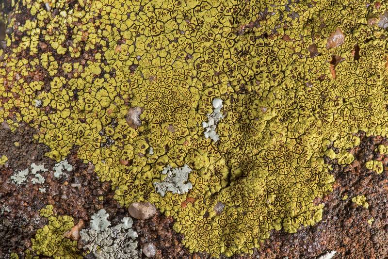 Pattern of yellow cobblestone lichen Acarospora socialis on sandstone near Lost Pines Overlook in Bastrop State Park. Bastrop, Texas, March 14, 2019