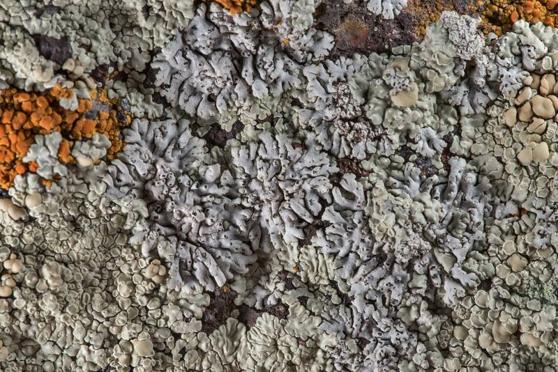 Rosette lichen (Physcia) with Lecanora muralis on sandstone of Lost Pines Overlook in Bastrop State Park. Bastrop, Texas, March 14, 2019