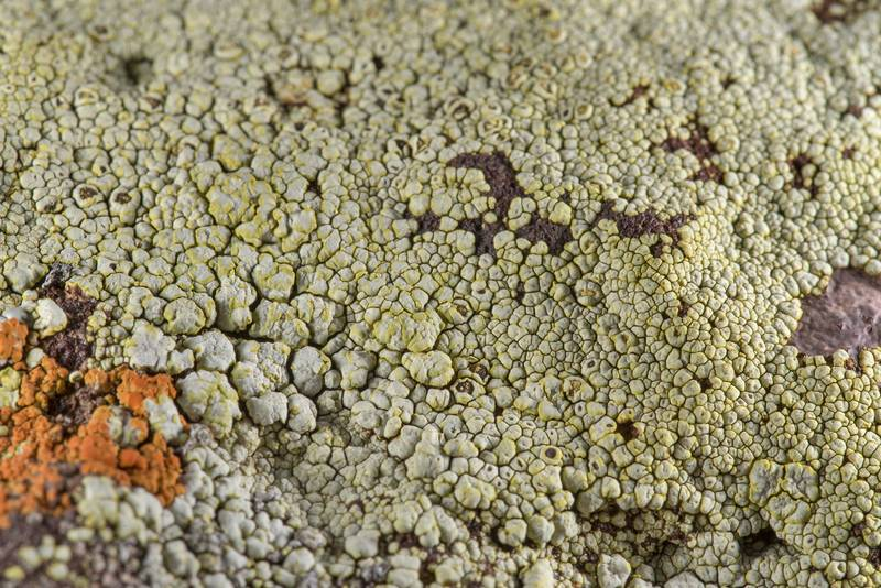 Close up of yellow cobblestone lichen Acarospora socialis in partial shade on sandstone of Lost Pines Overlook in Bastrop State Park. Bastrop, Texas, March 14, 2019