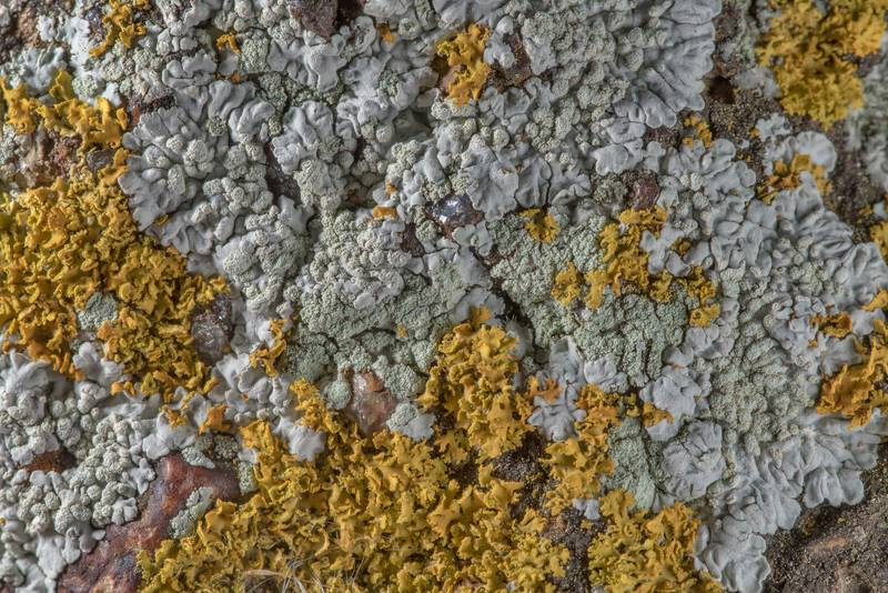 Rosette lichen (Physcia) and bare-bottomed sunburst lichen (Xanthomendoza weberi) on sandstone of Lost Pines Overlook in Bastrop State Park. Bastrop, Texas, March 14, 2019