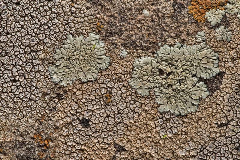 Diploschistes actinostomus together with stonewall rim-lichen (Lecanora muralis) on a sandstone near Lost Pines Overlook in Bastrop State Park. Bastrop, Texas, March 14, 2019