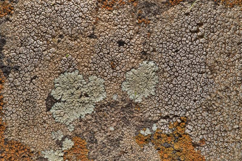 Diploschistes actinostomus(?) together with other lichens near Lost Pines Overlook in Bastrop State Park. Bastrop, Texas, March 14, 2019