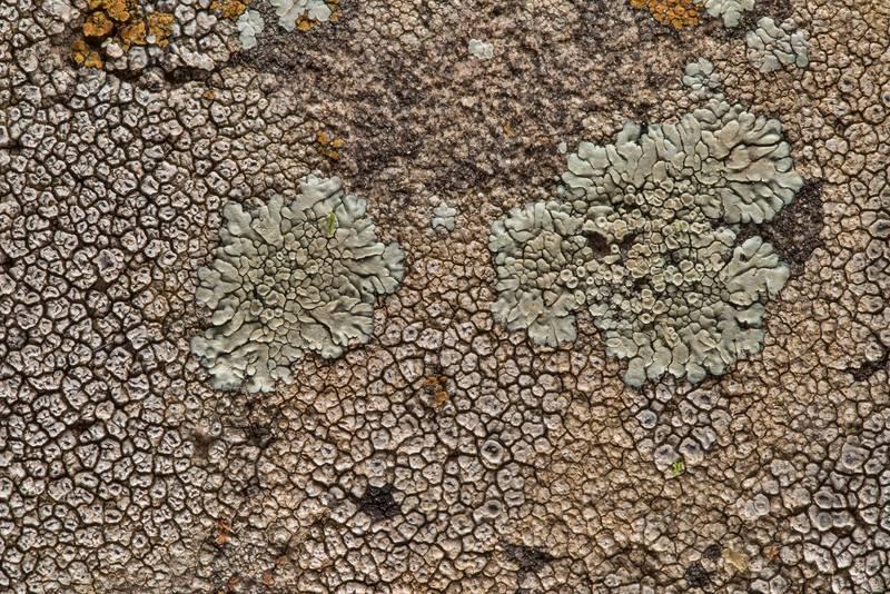 Diploschistes actinostomus(?) and Lecanora muralis together with other lichens near Lost Pines Overlook in Bastrop State Park. Bastrop, Texas, March 14, 2019
