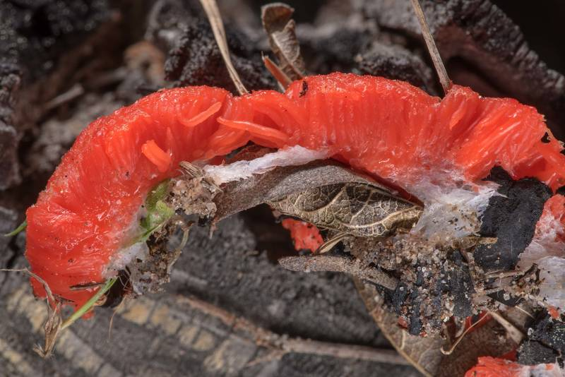 Dissected raspberry slime mold (Tubifera ferruginosa) found on sandy ground in a burned forest on Lost Pines Trail in Bastrop State Park. Bastrop, Texas, March 14, 2019