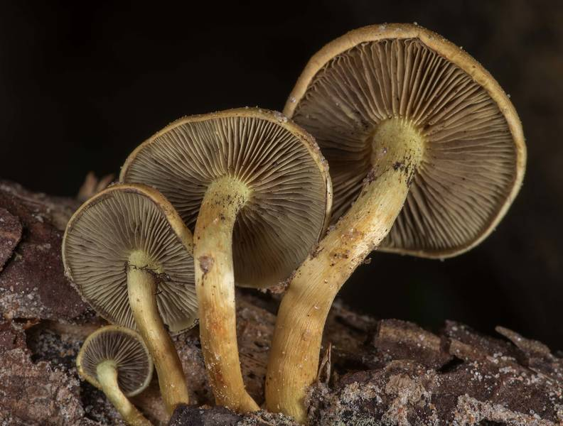 "Sulphur tuft mushrooms (<B>Hypholoma fasciculare</B>) on Caney Creek Trail (Little Lake Creek Loop Trail) in Sam Houston National Forest near Huntsville. Texas, <A HREF=""../date-en/2019-03-16.htm"">March 16, 2019</A>"