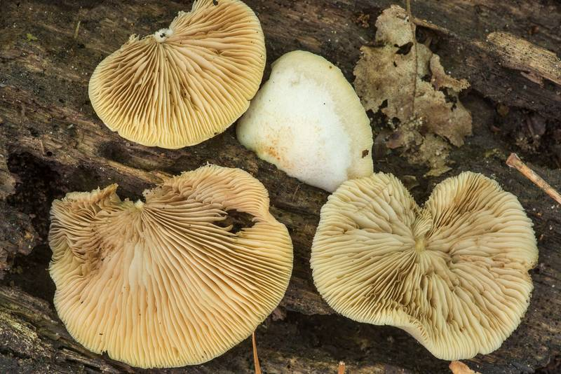 "Peeling oysterling mushrooms (<B>Crepidotus mollis</B>) on Caney Creek Trail (Little Lake Creek Loop Trail) in Sam Houston National Forest near Huntsville. Texas, <A HREF=""../date-en/2019-04-16.htm"">April 16, 2019</A>"