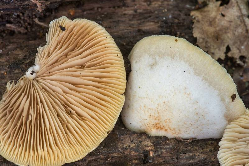 "Close up of peeling oysterling mushrooms (<B>Crepidotus mollis</B>) on Caney Creek Trail (Little Lake Creek Loop Trail) in Sam Houston National Forest near Huntsville. Texas, <A HREF=""../date-en/2019-04-16.htm"">April 16, 2019</A>"