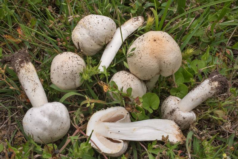 "Young meadow mushrooms (<B>Agaricus campestris</B>) in Wolf Pen Creek Park. College Station, Texas, <A HREF=""../date-en/2019-05-01.htm"">May 1, 2019</A>"