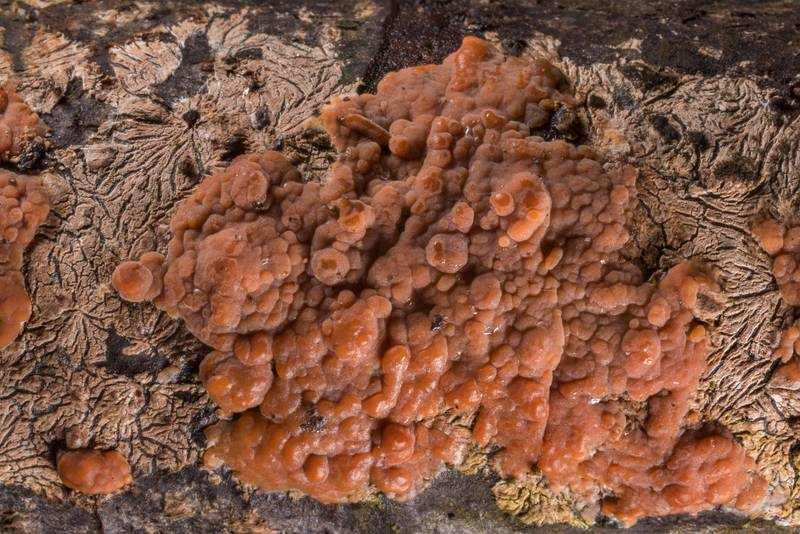 Rosy crust mushrooms (Peniophora incarnata)(?) on a cut surface of a tree near Lisiy Nos, west from Saint Petersburg. Russia, May 6, 2019