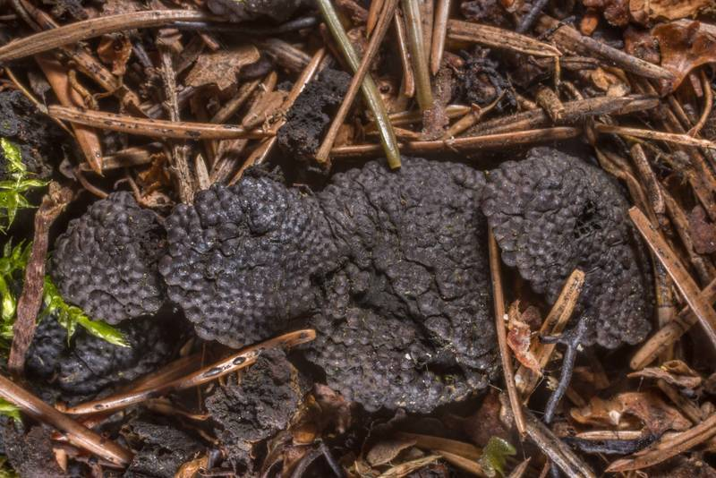 "<B>Jackrogersella multiformis</B> (Annulohypoxylon multiforme) fungus (family Xylariaceae) near Lisiy Nos, west from Saint Petersburg. Russia, <A HREF=""../date-en/2019-05-06.htm"">May 6, 2019</A>"