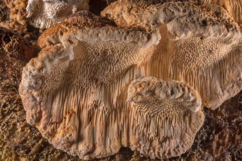 Texture of tinder mushrooms Neoantrodia serialis (Antrodia serialis) on a cut surface of a spruce log near Lisiy Nos, west from Saint Petersburg. Russia, May 6, 2019