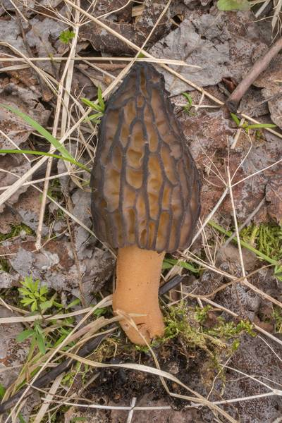 "Side view of a morel mushroom <B>Morchella esculenta</B> var. conica (Morchella conica) south from Mys Moryin Nos near Ladoga Lake, east from Saint Petersburg. Russia, <A HREF=""../date-en/2019-05-14.htm"">May 14, 2019</A>"