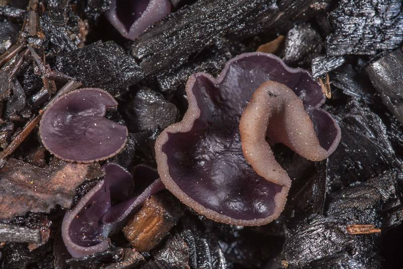 "Violet fairy cup fungus (<B>Peziza violacea</B>) on charred wood of a bonfire near Orekhovo, north from Saint Petersburg. Russia, <A HREF=""../date-ru/2019-05-15.htm"">May 15, 2019</A>"