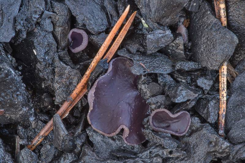 "Violet fairy cup fungus (<B>Peziza violacea</B>) on a bonfire site near Orekhovo, north from Saint Petersburg. Russia, <A HREF=""../date-ru/2019-05-15.htm"">May 15, 2019</A>"