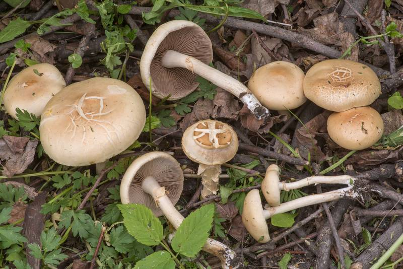 Fieldcap mushrooms Agrocybe dura near Karpovka River in Peter the Great Botanical Garden of Komarov Botanical Institute. Saint Petersburg, Russia, May 24, 2019