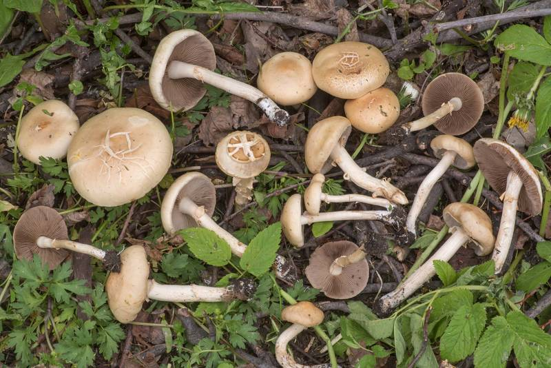 Fieldcap mushrooms Agrocybe dura on a lawn near Karpovka River in Peter the Great Botanical Garden of Komarov Botanical Institute. Saint Petersburg, Russia, May 24, 2019