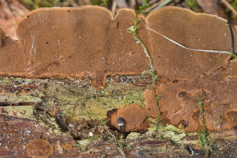 "Underside of a brown polypore mushroom <B>Phellinus chrysoloma</B>(?) in Kannelyarvi, 45 miles north from Saint Petersburg. Russia, <A HREF=""../date-ru/2019-05-25.htm"">May 25, 2019</A>"