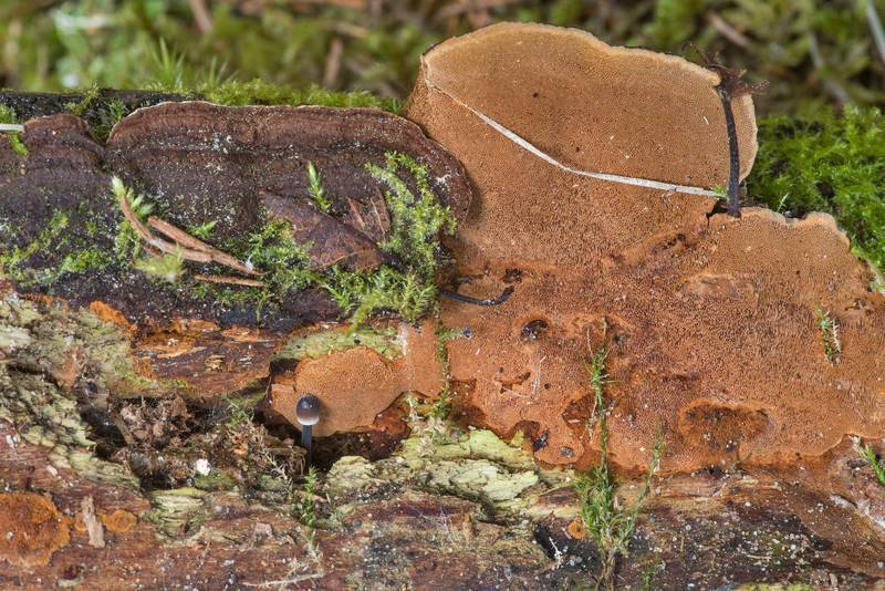 "Brown polypore mushroom <B>Phellinus chrysoloma</B>(?) on rotting wood of spruce(?) in Kannelyarvi, 45 miles north from Saint Petersburg. Russia, <A HREF=""../date-ru/2019-05-25.htm"">May 25, 2019</A>"