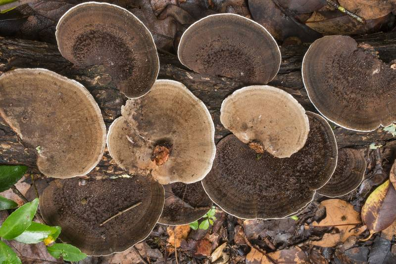 "Polypore mushrooms <B>Hexagonia hydnoides</B> on a fallen oak in Hensel Park. College Station, Texas, <A HREF=""../date-en/2019-06-05.htm"">June 5, 2019</A>"