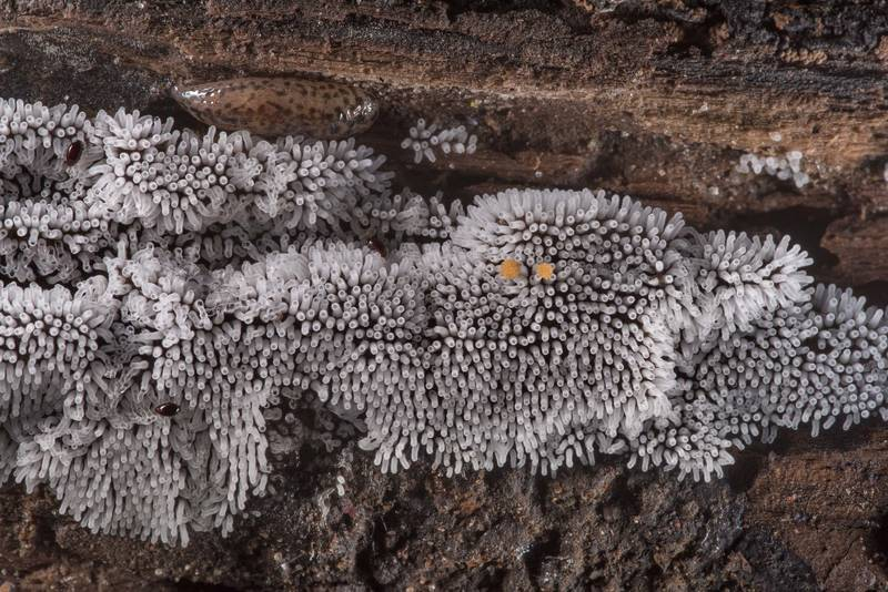 "Coral slime mold (<B>Ceratiomyxa fruticulosa</B>) with a slug on Caney Creek Trail (Little Lake Creek Loop Trail) in Sam Houston National Forest near Huntsville. Texas, <A HREF=""../date-en/2019-06-07.htm"">June 7, 2019</A>"