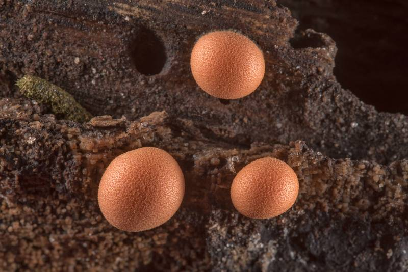 "Wolf's Milk slime mold <B>Lycogala epidendrum</B> on rotting log on Caney Creek Trail (Little Lake Creek Loop Trail) in Sam Houston National Forest near Huntsville. Texas, <A HREF=""../date-en/2019-06-07.htm"">June 7, 2019</A>"