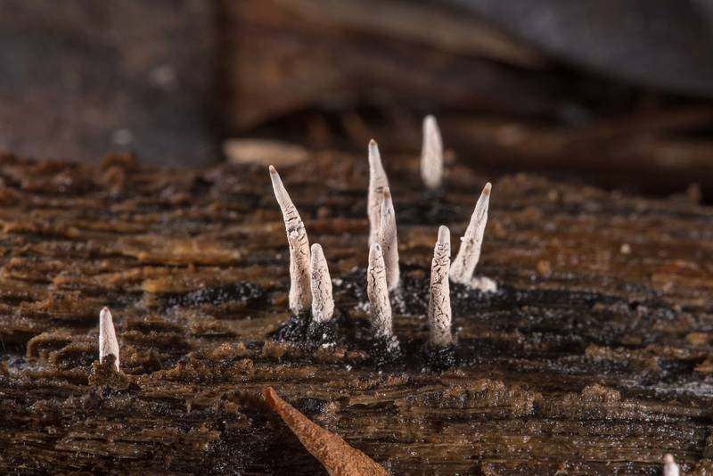 Candlesnuff fungus (Xylaria hypoxylon) on a rotting log on a property at 5369 Farm to Market Road 770 near Kountze. Texas, June 8, 2019
