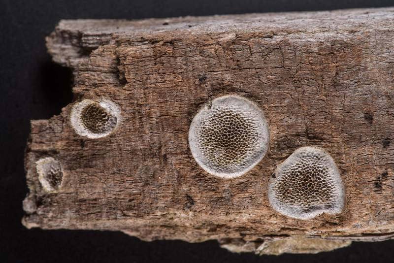 Porous crust fungus on a piece of wood collected during a mushroom walk on a property at 5369 Farm to Market Road 770 near Kountze. Texas, June 8, 2019