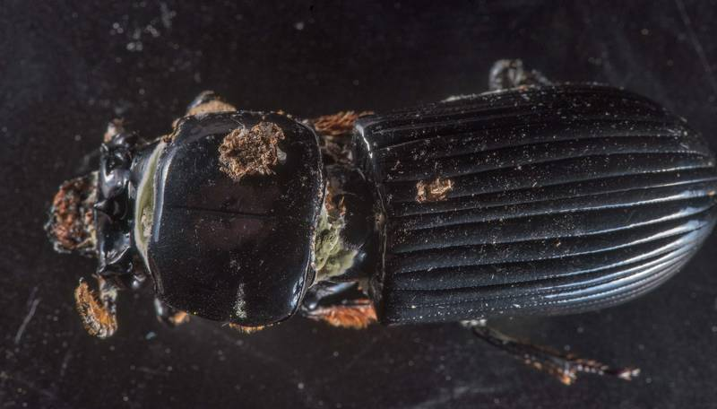 Dead bess beetle (Odontotaenius disjunctus) with mold like parasitic fungus collected during a mushroom walk on a property at 5369 Farm to Market Road 770 near Kountze. Texas, June 8, 2019