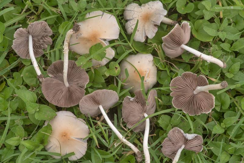 Pale brittlestem mushrooms (Psathyrella candolleana) on a lawn in Bee Creek Park. College Station, Texas, June 10, 2019