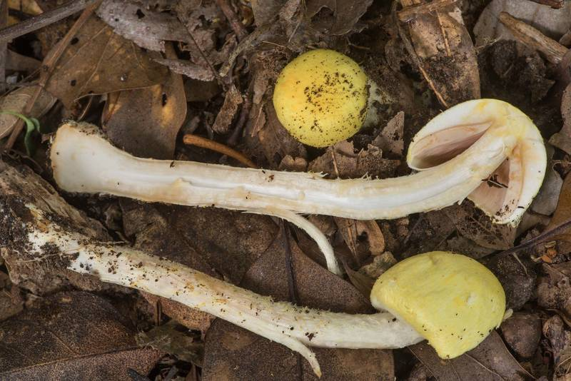 "Dissected <B>Agaricus auricolor</B> mushrooms in Bee Creek Park. College Station, Texas, <A HREF=""../date-en/2019-06-10.htm"">June 10, 2019</A>"