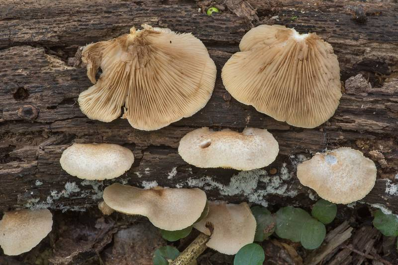 "Oysterling mushrooms <B>Crepidotus mollis</B> in Bee Creek Park. College Station, Texas, <A HREF=""../date-en/2019-06-10.htm"">June 10, 2019</A>"