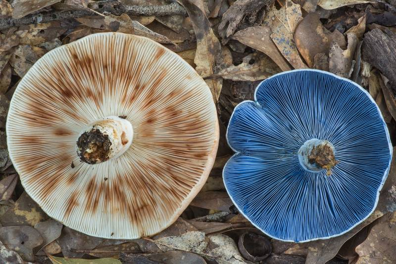 "Gills of milkcap mushrooms <B>Lactarius indigo</B> and another Lactarius in Lick Creek Park. College Station, Texas, <A HREF=""../date-en/2019-06-12.htm"">June 12, 2019</A>"