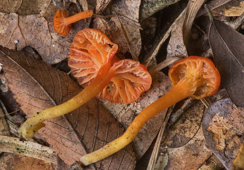 "Goblet waxcap mushrooms (<B>Hygrocybe cantharellus</B>)(?) in Lick Creek Park. College Station, Texas, <A HREF=""../date-en/2019-06-12.htm"">June 12, 2019</A>"