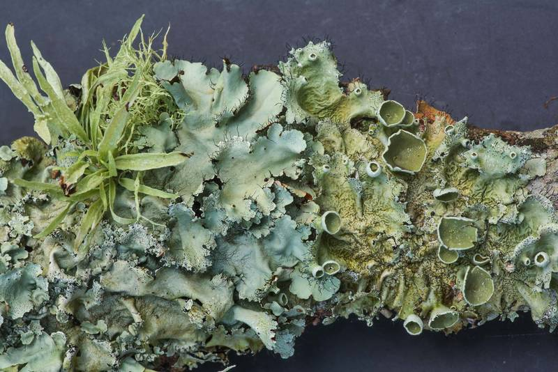 Foliose lichens on a fallen oak twig in Lick Creek Park. College Station, Texas, June 18, 2019