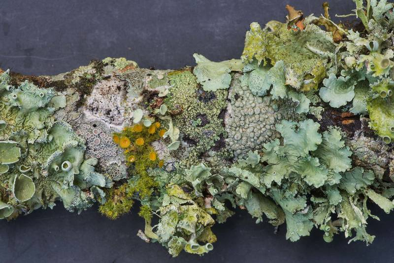 Various foliose lichens on a fallen oak twig in Lick Creek Park. College Station, Texas, June 18, 2019