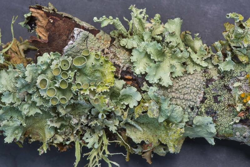 Perforated ruffle lichen (Parmotrema perforatum) and other foliose lichens on a fallen oak twig in Lick Creek Park. College Station, Texas, June 18, 2019