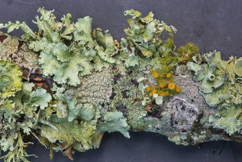 Green and orange foliose lichens on a fallen oak twig in Lick Creek Park. College Station, Texas, June 18, 2019