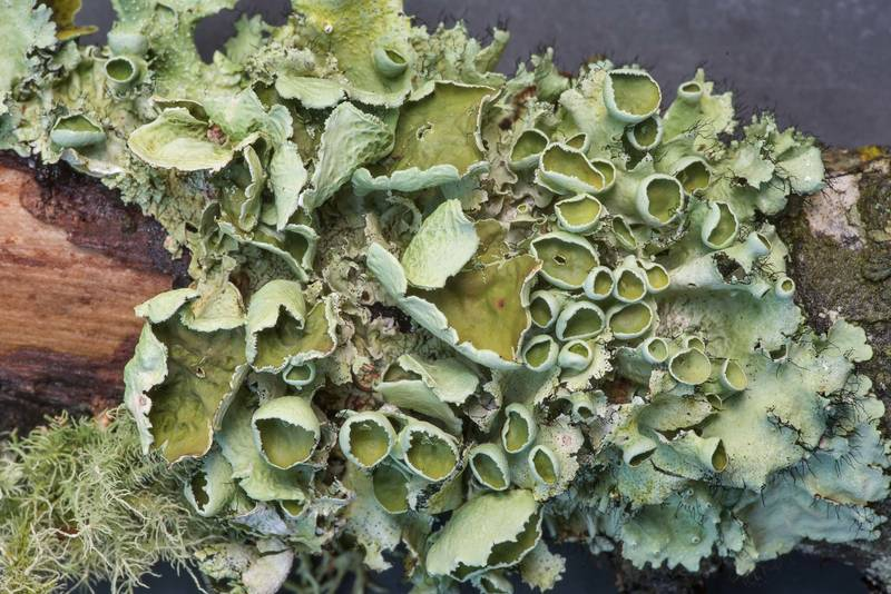 "Perforated ruffle lichen (<B>Parmotrema perforatum</B>) on a fallen oak twig in Lick Creek Park. College Station, Texas, <A HREF=""../date-en/2019-06-18.htm"">June 18, 2019</A>"
