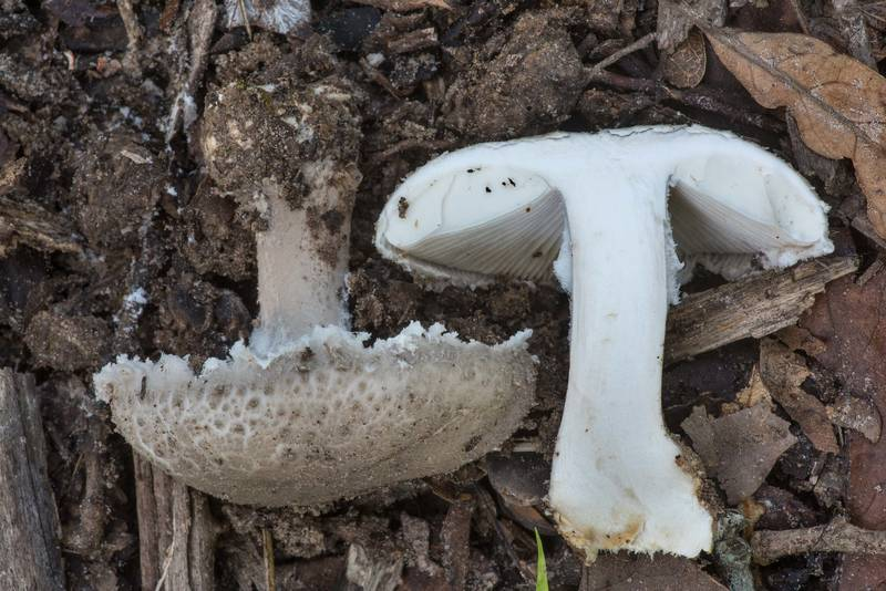 Dissected Gray Dust Lepidella mushroom (Amanita cinereoconia) in Lick Creek Park. College Station, Texas, June 18, 2019