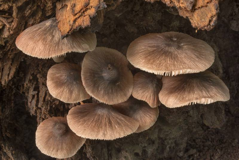 "Pleated shield mushrooms (<B>Pluteus longistriatus</B>) on rotting wood on Caney Creek Trail (Little Lake Creek Loop Trail) in Sam Houston National Forest near Huntsville. Texas, <A HREF=""../date-en/2019-06-19.htm"">June 19, 2019</A>"