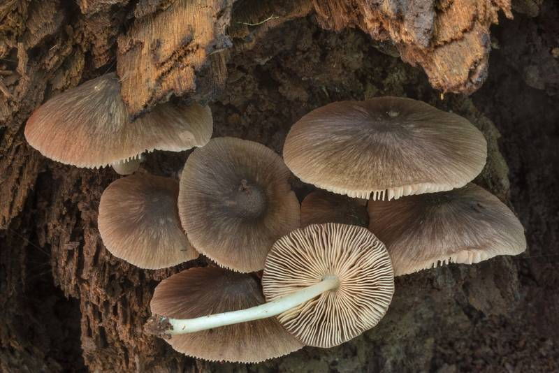 "Pleated shield mushrooms (<B>Pluteus longistriatus</B>) on a stump on Caney Creek Trail (Little Lake Creek Loop Trail) in Sam Houston National Forest near Huntsville. Texas, <A HREF=""../date-en/2019-06-19.htm"">June 19, 2019</A>"