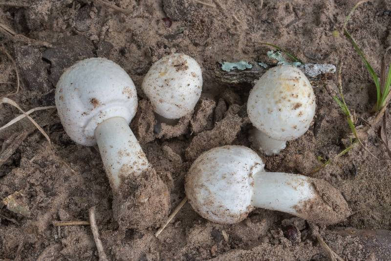 Button mushrooms (Agaricus) in Lick Creek Park. College Station, Texas, June 21, 2019