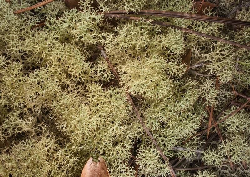 "Cushion of dixie reindeer lichen (<B>Cladonia subtenuis</B>) under pines behind a pitcher plant bog in Watson Rare Native Plant Preserve. Warren, Texas, <A HREF=""../date-en/2019-06-22.htm"">June 22, 2019</A>"