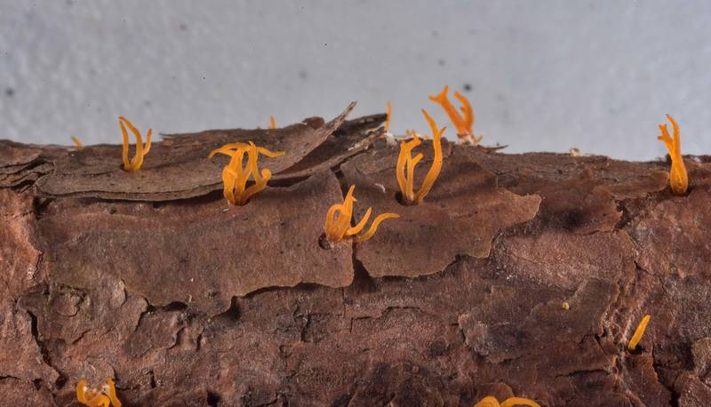 Forked stagshorn mushrooms (Calocera furcata) on a pine branch collected at mushroom walk with Gulf States Mycological Society in Watson Rare Native Plant Preserve. Warren, Texas, June 22, 2019