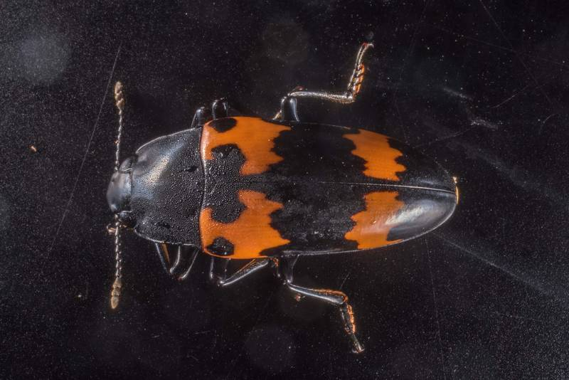 Pleasing fungus beetle (Megalodacne) found on a polypore mushroom from Watson Rare Native Plant Preserve. Warren, Texas, June 22, 2019