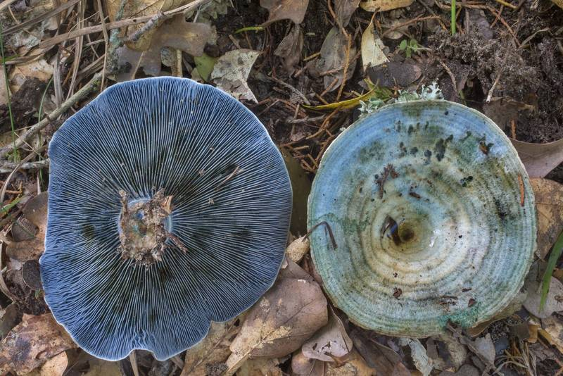 "Blue milkcap mushrooms (<B>Lactarius indigo</B>) on Closed Trail in Lick Creek Park. College Station, Texas, <A HREF=""../date-en/2019-06-25.htm"">June 25, 2019</A>"