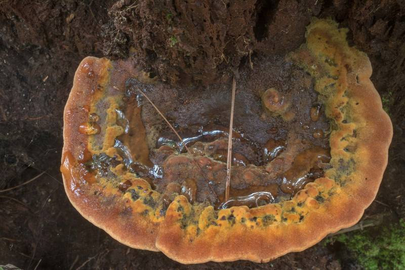 "Velvet-top fungus (<B>Phaeolus schweinitzii</B> mushroom) on a pine stump in Big Creek Scenic Area of Sam Houston National Forest. Shepherd, Texas, <A HREF=""../date-en/2019-06-26.htm"">June 26, 2019</A>"