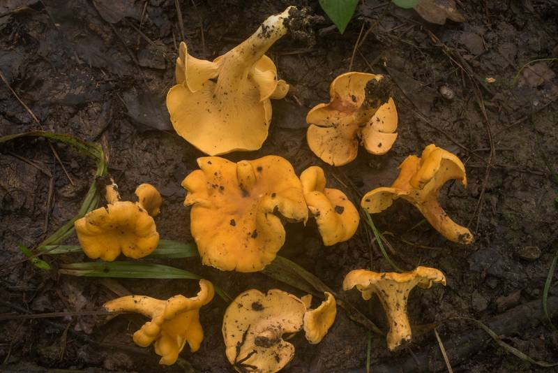"Smooth chanterelle mushroom (<B>Cantharellus lateritius</B>) on floodplain on Caney Creek Trail (Little Lake Creek Loop Trail) in Sam Houston National Forest north from Montgomery. Texas, <A HREF=""../date-en/2019-06-27.htm"">June 27, 2019</A>"
