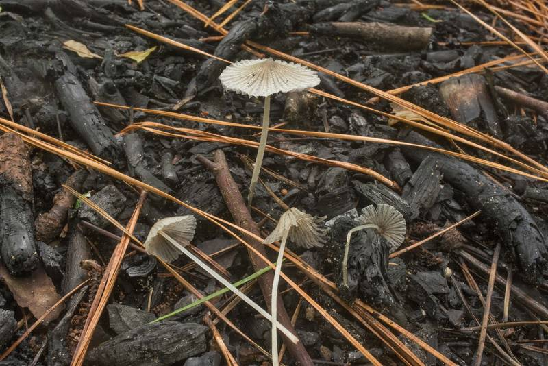 Small Parasola mushrooms on a campfire place on Caney Creek Trail (Little Lake Creek Loop Trail) in Sam Houston National Forest north from Montgomery. Texas, June 27, 2019