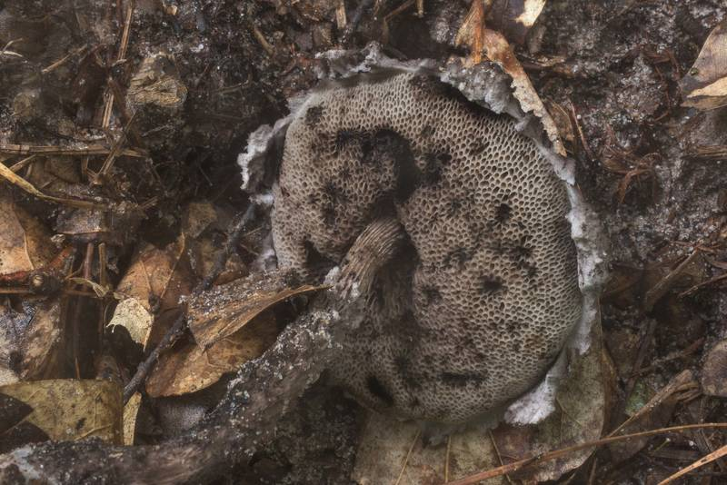 Underside of Old Man of the Woods mushroom (Strobilomyces floccopus, Strobilomyces strobilaceus) on Caney Creek Trail (Little Lake Creek Loop Trail) in Sam Houston National Forest north from Montgomery. Texas, June 27, 2019
